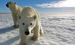 Protect the Polar Bears! Milestone Surveillance Solution Keeps Eye on Vulnerable Species