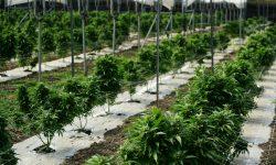 Read: Marijuana Facility Secured With 3xLOGIC infinias Access Control