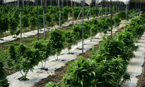 Marijuana Facility Secured With 3xLOGIC infinias Access Control
