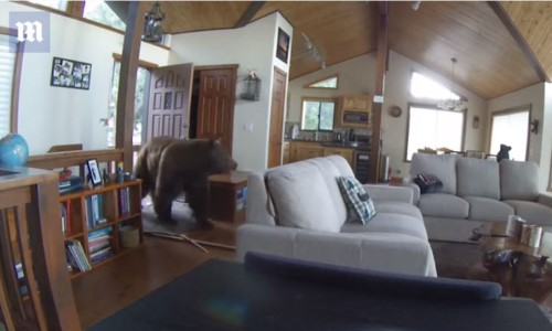 Top 5 Surveillance Videos of the Week: Grizzly Bear Caught Breaking & Entering Home