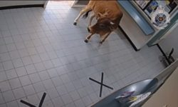 Top 5 Surveillance Videos of the Week: Cow Wanders Into Police Station
