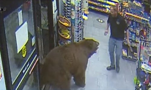 Top 5 Surveillance Videos of the Week: Bears Continuously Enter Convenience Store