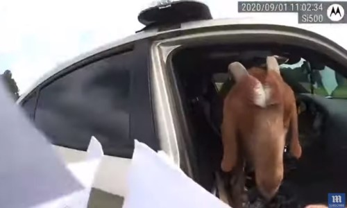 Top 5 Surveillance Videos of the Week: Cop Finds Goat Eating Paperwork Inside Squad Car